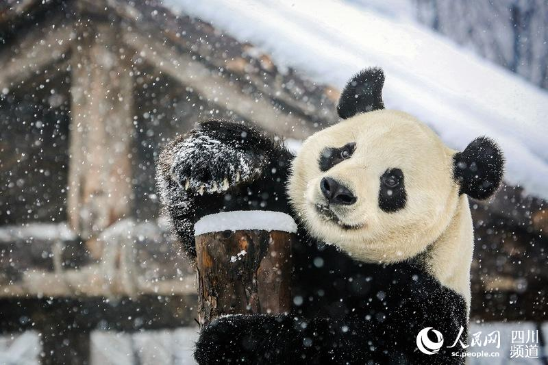 Chengdu giant pandas enjoy snow in east China's Jinan