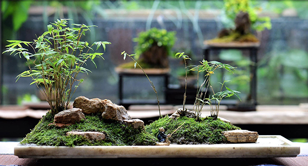 Chad, a Canadian in Chengdu, wanting his bonsai be a part of this city_fororder_33
