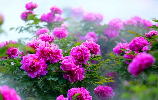 Luoyang Peonies Bloom on Flower Expo