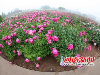 Peonies Blossom Brightly in Luoyang