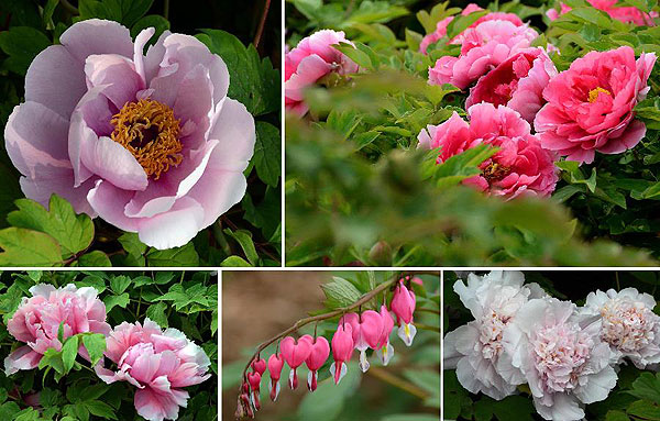 Peony Flowers Attract Visitors in Luoyang