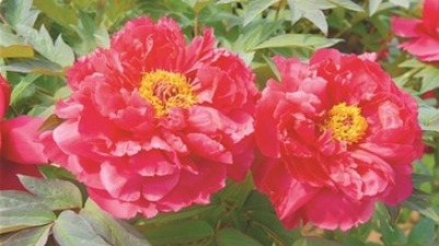 Luoyang peony wins a national prize