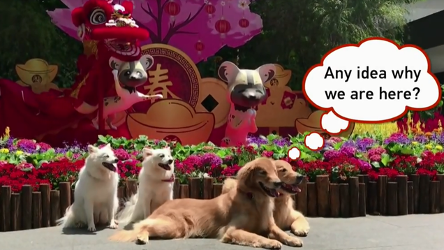 A zoo in Singapore ushers in the Year of the Dog with furry ambassadors_fororder_QQ截图20180211144622