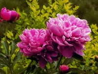 Peony Festival extravaganza: 4.5-5.5_fororder_20180404171314300_48760
