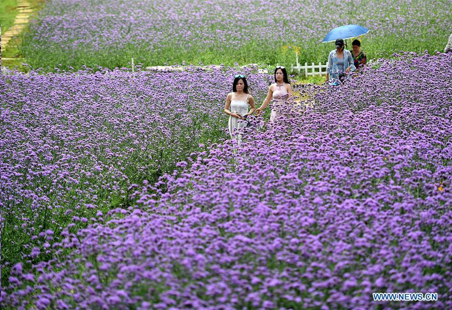 Purple flowers attract tourists in south China's Guangxi