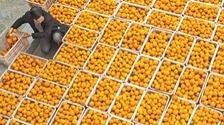 采春橙 助脱贫