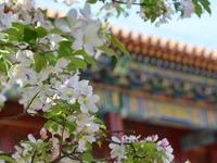 北京:繁花绽放紫禁城 古朴雅致报春来