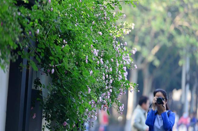 南京街头蔷薇香