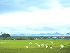 宾阳: 生态农业美 白鹭舞春耕